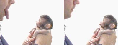Un mono recién nacido imita a una persona que saca la lengua