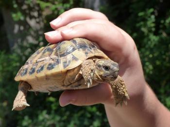 Kilpikonna Lemmikkinä